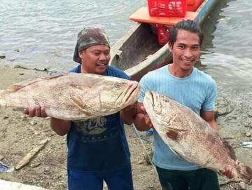 Tak Ada Penampung Ikan Hidup Pendapatan Nelayan Keramba Sikakap  Menurun