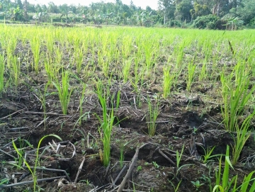 Petani Berupaya Selamatkan Padi dari Kekeringan