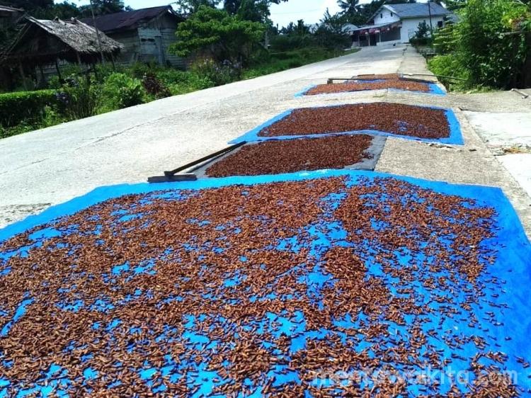 Harga Cengkeh Anjlok Petani Tak Sanggup Bayar Biaya Buruh Petik