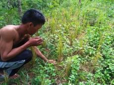 Padi Ladang Warga Saibi Samukop Gagal Panen