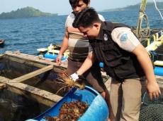 BKIPM Perketat Pengawasan Penjualan Lobster di Sikakap