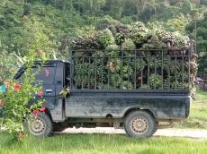 Pemerintah Akan Bangun Pabrik Tepung Pisang di Mentawai