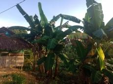 Akan Ada Pabrik Pisang Pemdes Bulasat Ajak Petani Perluas Kebun