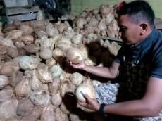 Tiap Minggu 5500 Buah Kelapa Sikakap Dijual ke Padang