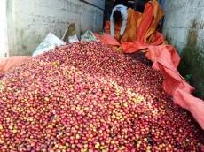 Harga Mulai Membaik Petani Kopi Arabika Solok Selatan Kembali Turun ke Ladang