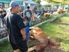 40 Ekor Sapi Dipotong untuk Kurban Idul Adha di Sikakap