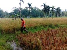 Petani Sawah di Tubeket Pagai Selatan Masih Andalkan Air Hujan