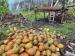 Petani Kelapa Mabulau Buggei Berharap Pemerintah Mengontrol Harga