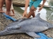 Warga Puro Menemukan Ikan Lumba-lumba Kesasar Masuk Sungai