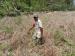 100 Hektar Sawah di Sikakap Tidak Diolah Karena Kemarau