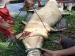 Makan Babi Warga Seekor Buaya Ditangkap Warga di Taikako