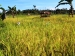11 Hektar Areal Sawah Petani di Muara Siberut Butuh Irigasi